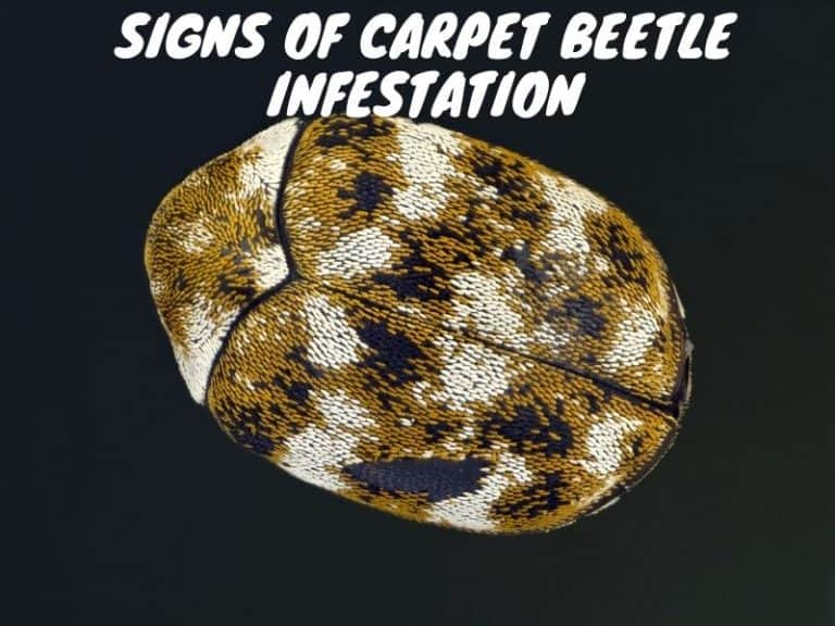 Do You Recognize These 15 Signs of Carpet Beetle Infestation?