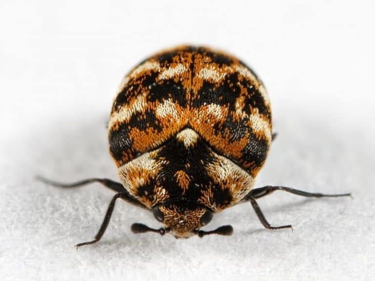 How To Quickly Find the Source of Carpet Beetles