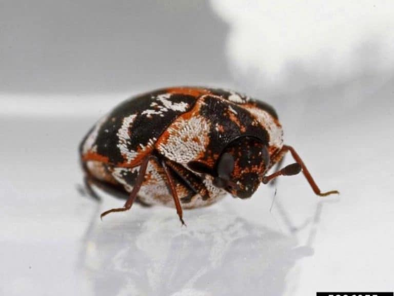 How Scary Is Boric Acid for Carpet Beetles