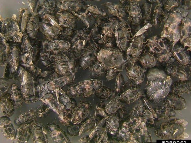 Surprising Things That Carpet Beetles Eat Besides Carpet