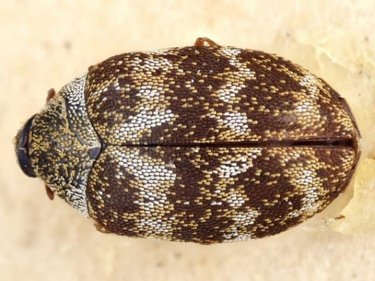 What is the Fastest Way to Get Rid of Carpet Beetles?