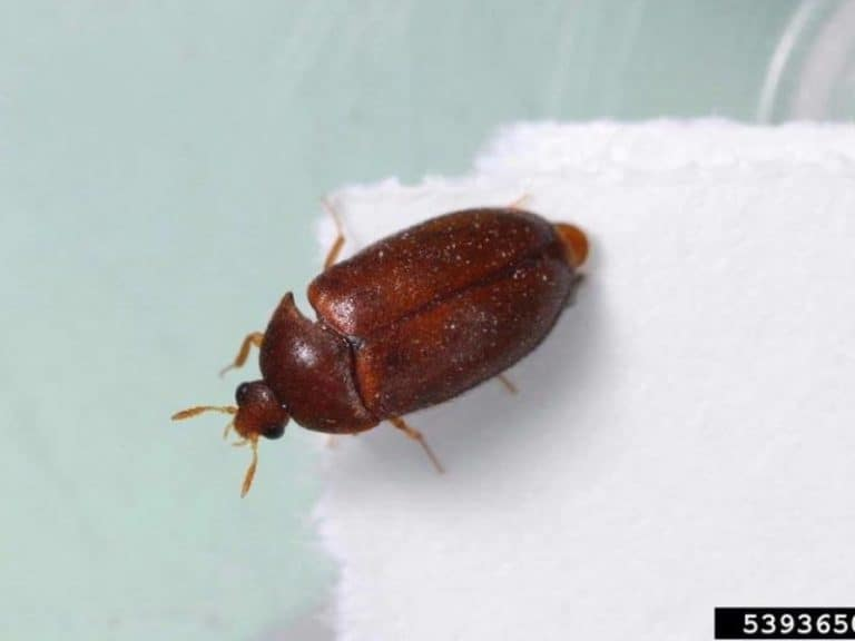 How to Get Rid of Carpet Bugs With These 8 Steps
