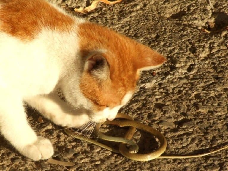 Can Cats Sense Snakes [Yes, And Here's What They Do]