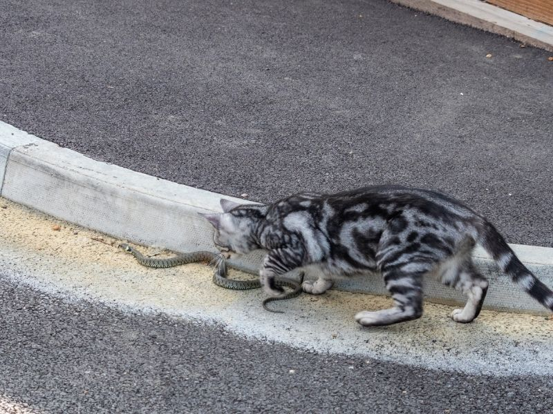 image of cat attacking snake