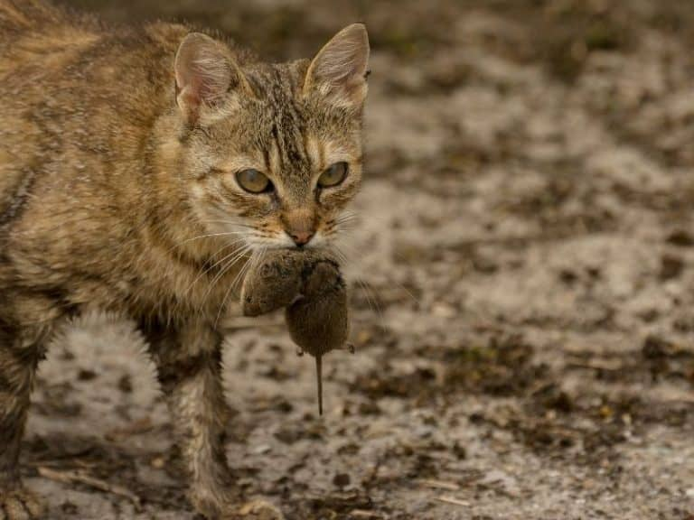 What to Do When Your Cat Catches a Mouse (Dead and Live)