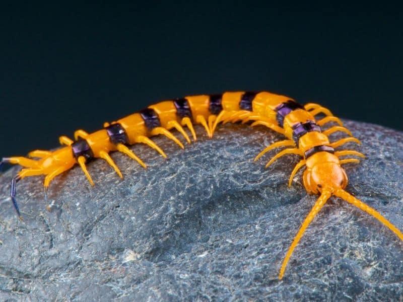 Natural Bed Bug Enemy #3 - centipede