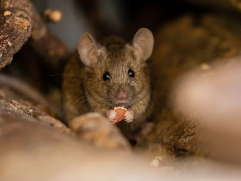 Do Mice Make Noise When Trapped?