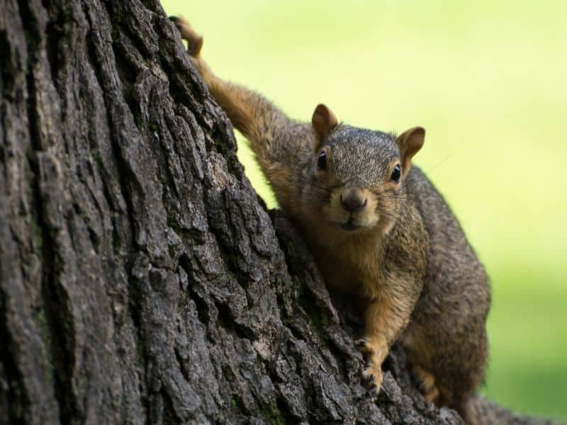 image of squirrel before attack