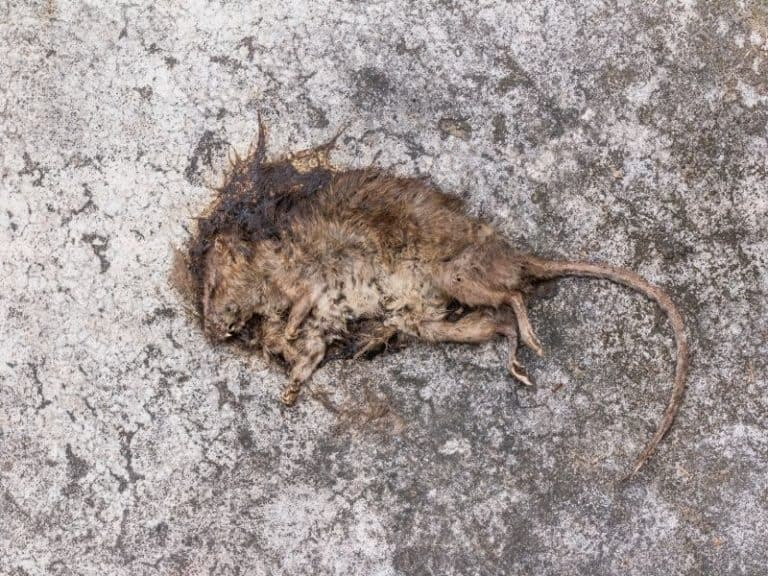 Can The Smell Of A Dead Mouse Be Harmful To Your Health
