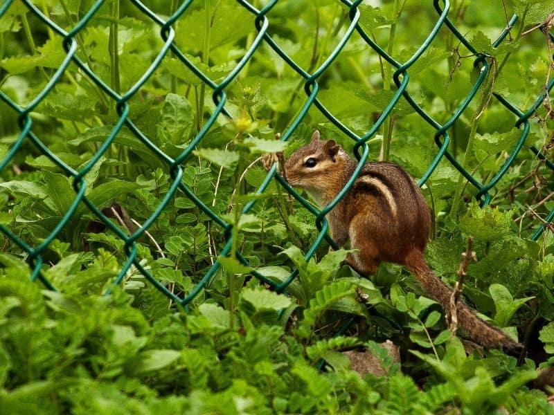 chipmunk on fence