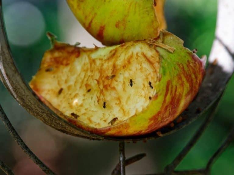10 Things That Fruit Flies Hate [plus 15 Fruit File Repellent Plants]
