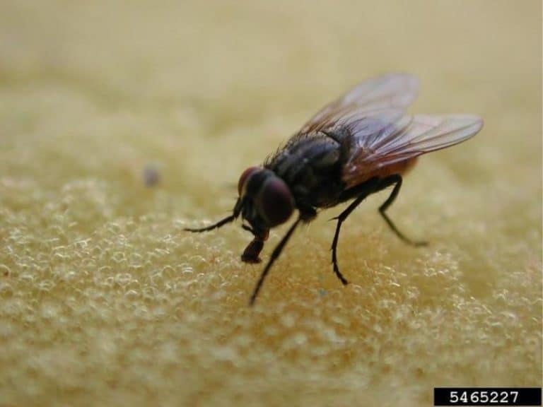 What Happens if You Eat a Fruit Fly [Egg or Maggott]