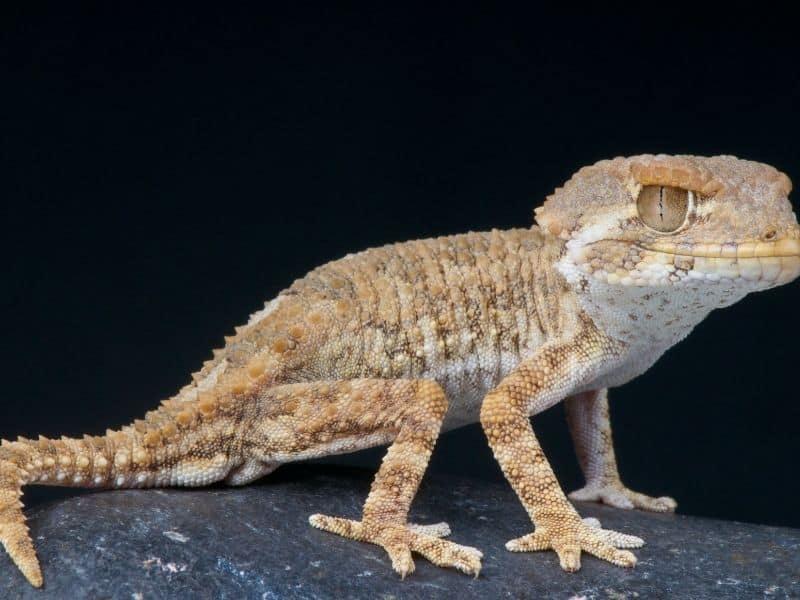 Natural Bed Bug Enemy #8 - lizard