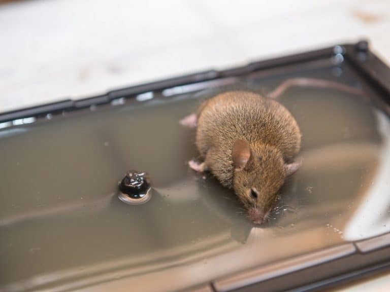 Inhumane Glue Traps and Humane Alternatives to Trap Mice and Rats