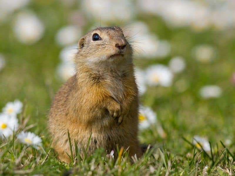 image of ground squirrel