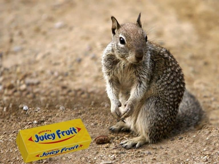 Does Chewing Gum Kill Squirrels? Facts vs Myths