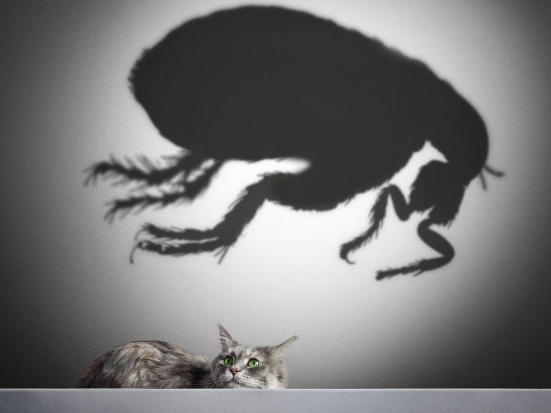 cat and flea