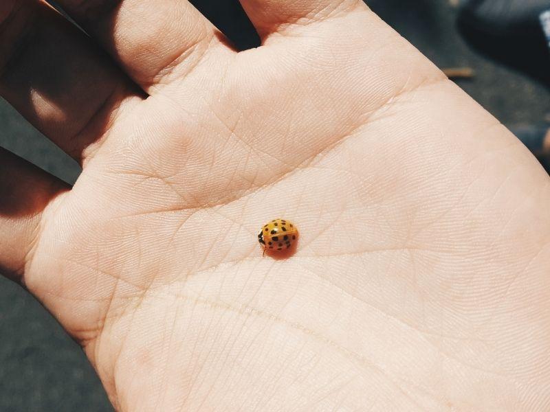 Natural Bed Bug Enemy #6 - ladybug