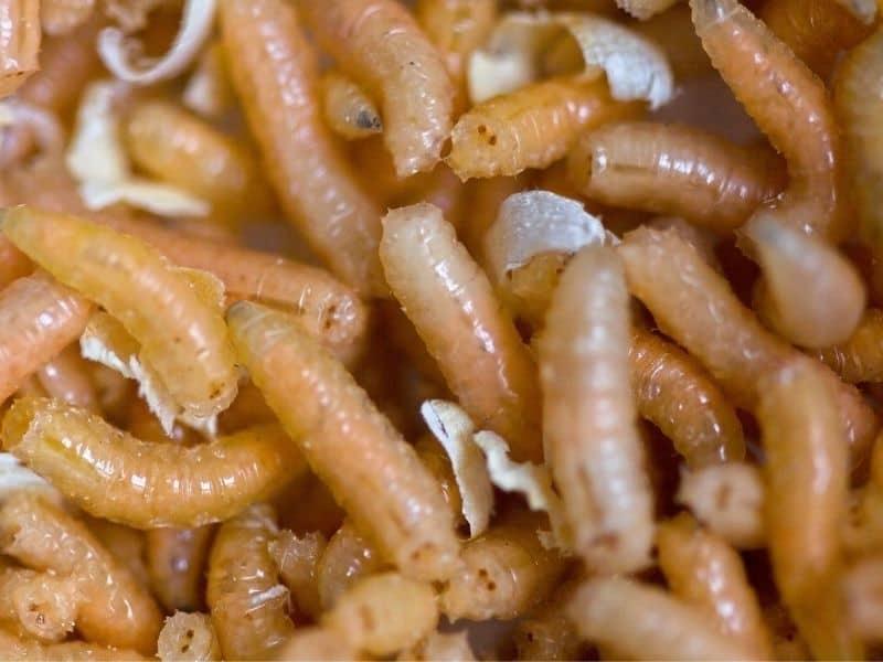 image of maggots