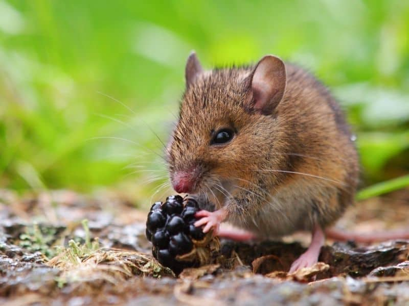 pic mouse in nature