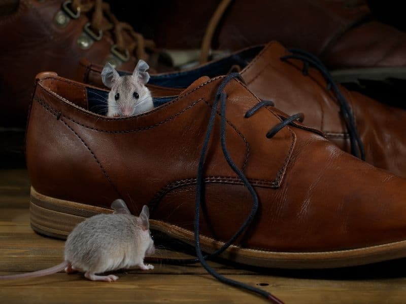mice in shoes