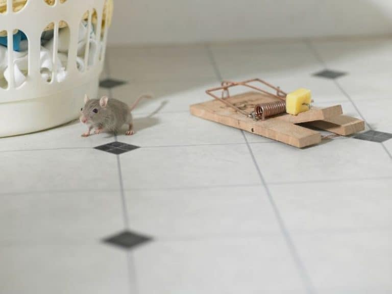 8 Reasons Why Mice Are Ignoring Your Traps