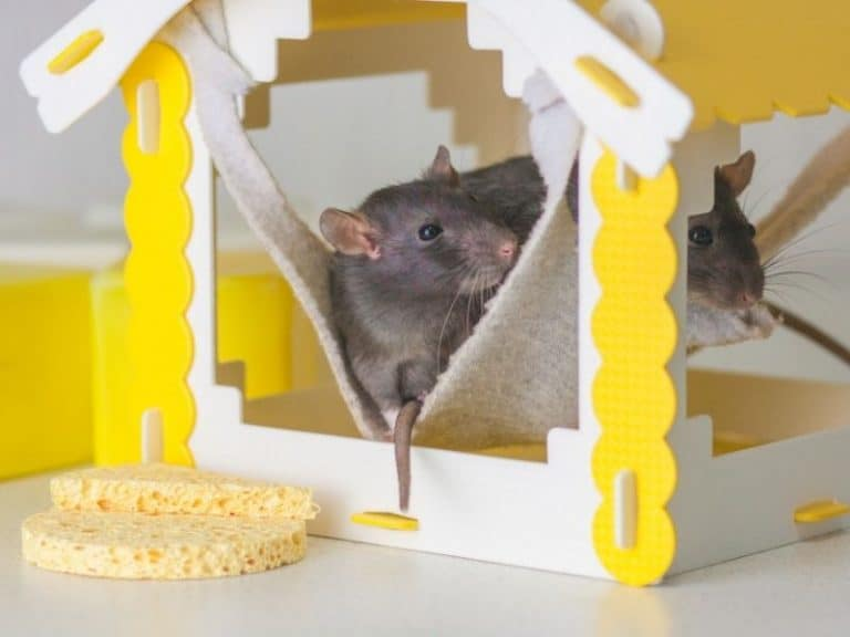 Where Do Mice Hide During The Day?