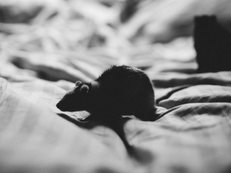 Is it Safe to Sleep with Mice in Your Room?