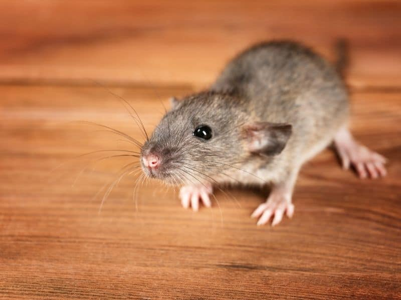mouse on table