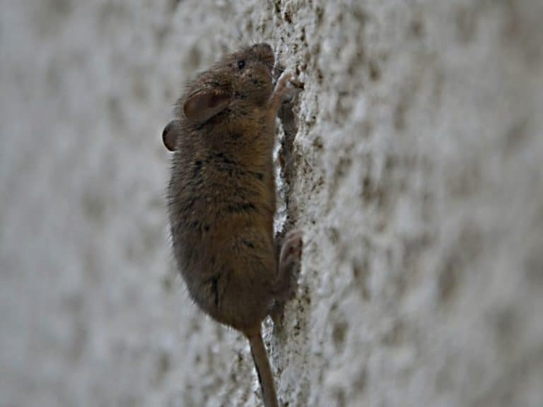 How to Tell If You Have Rats or Mice in Your Walls