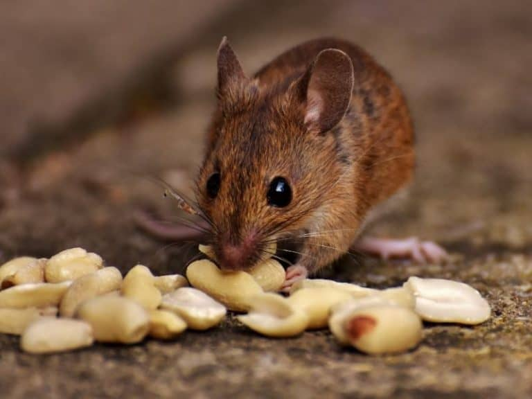 Are You Sure You Know What Does Peanut Butter Do To Mice?