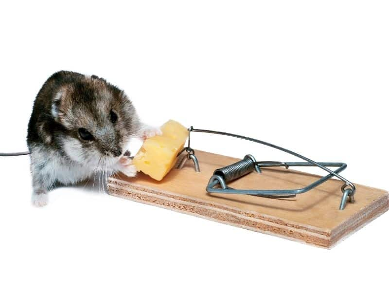 mouse stealing bait