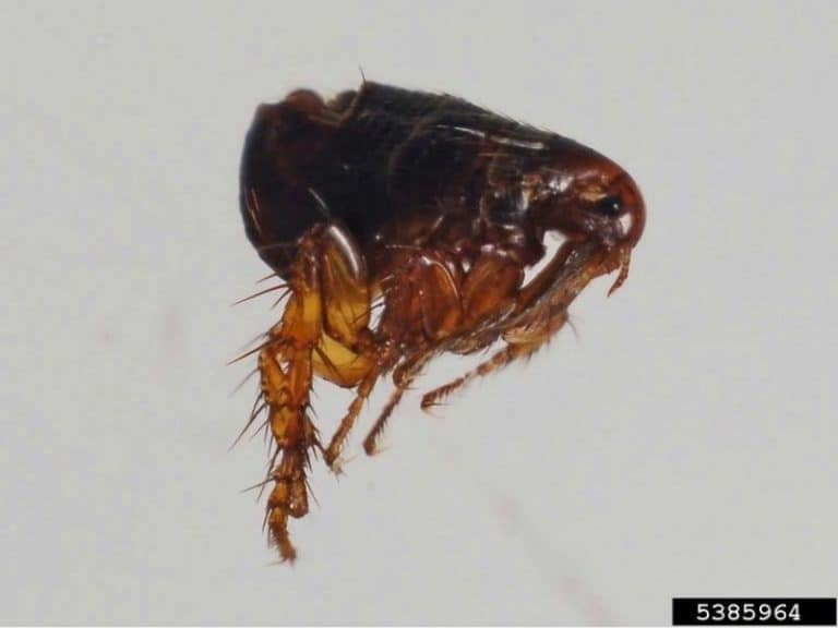 How Much Do Fleas Poop In Their Lifetime [77mg]