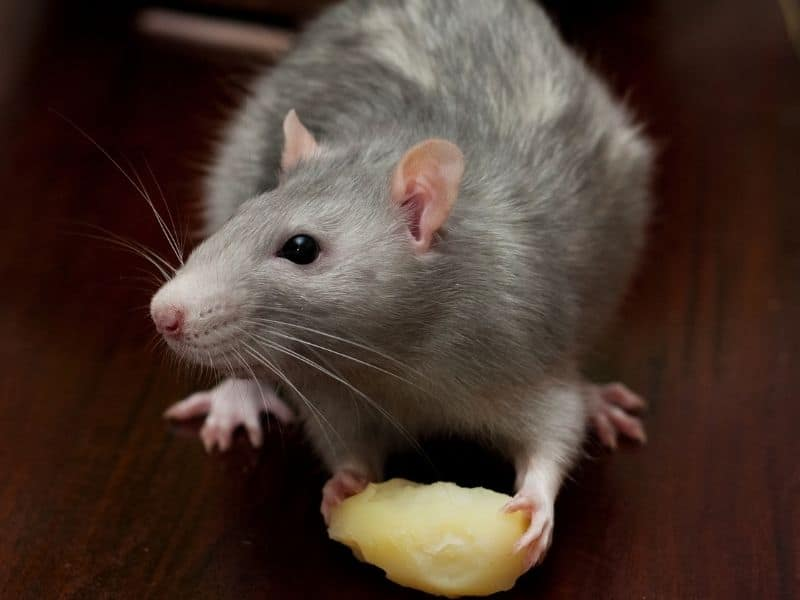rat is eating
