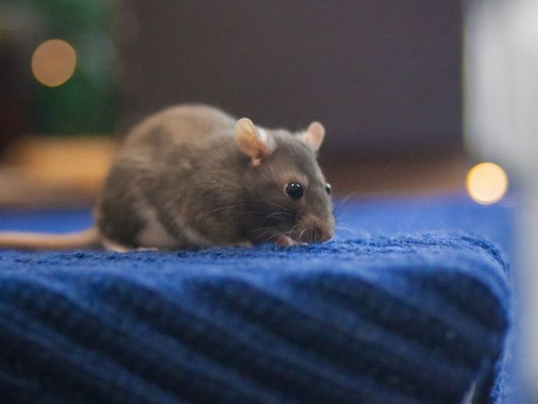 What To Do If A Rat Is In Your Room