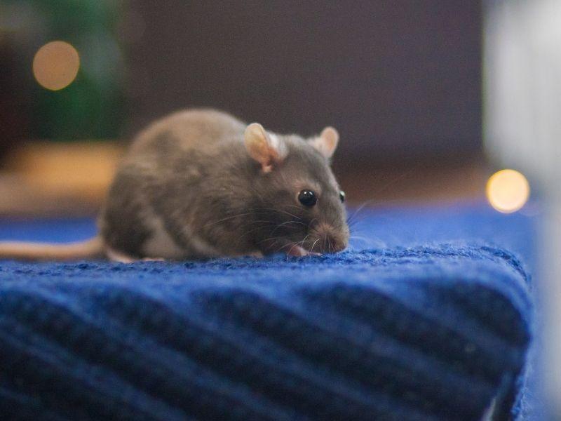 rat in a room