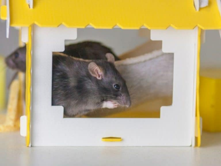 8 Real Reasons Why Rats Can Come to Your House