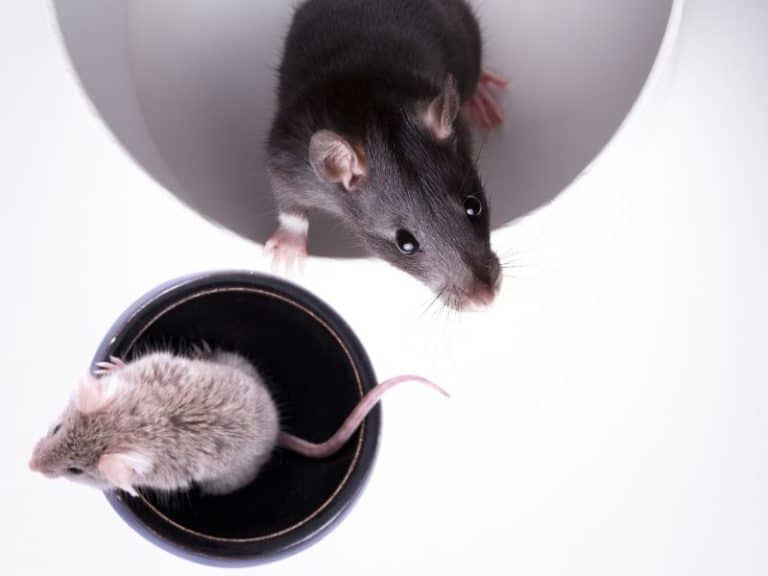 Do Mice Turn Into Rats And Vice Versa