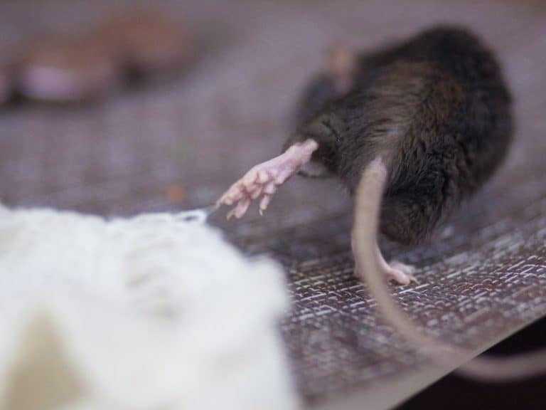 Do Rats Eat Mice or Do They Get Along?