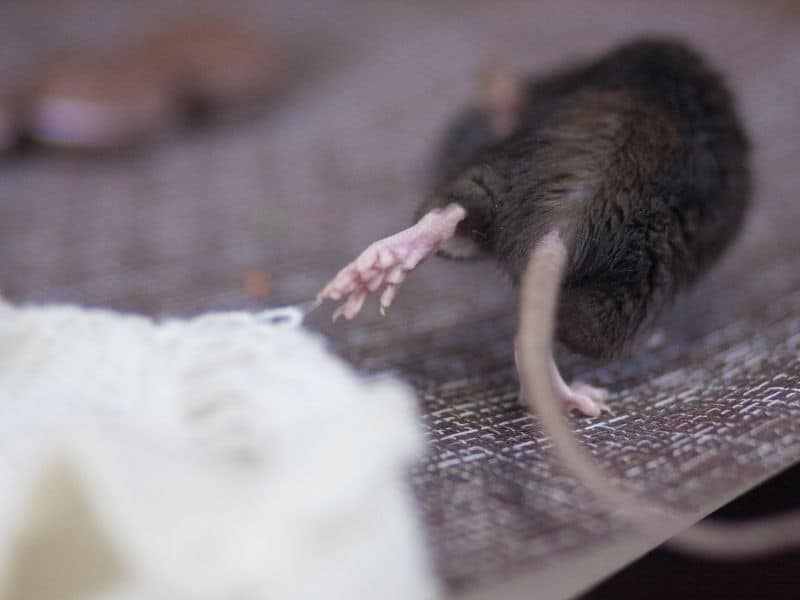 image of rodent running away