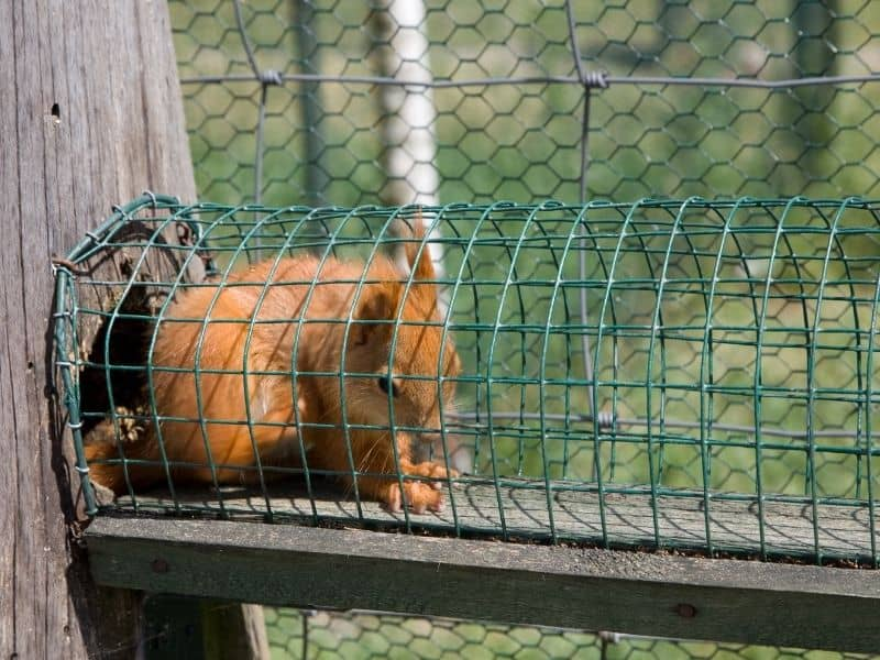 image of squirrel in trap