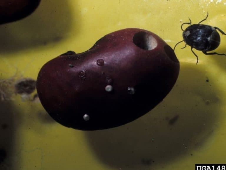 Is It Safe To Eat Beans With Weevils?
