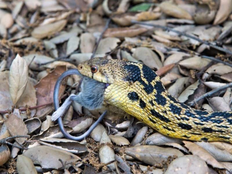 snake eating mouse