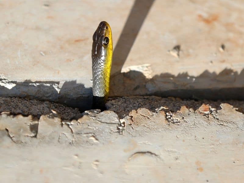 snake under concrete