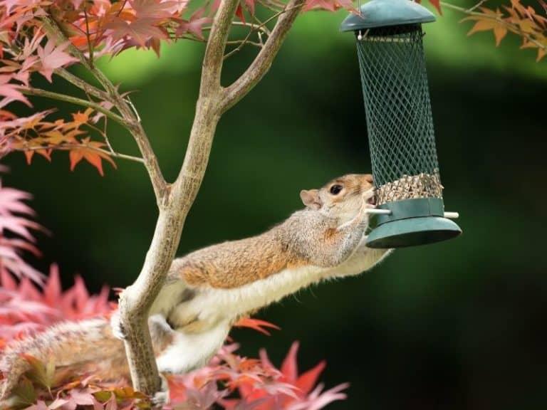 Do Squirrels Eat Birds or Their Eggs?