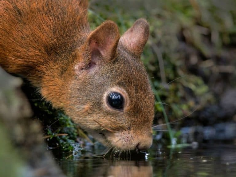 What Do Squirrels Drink? You May Be Surprised