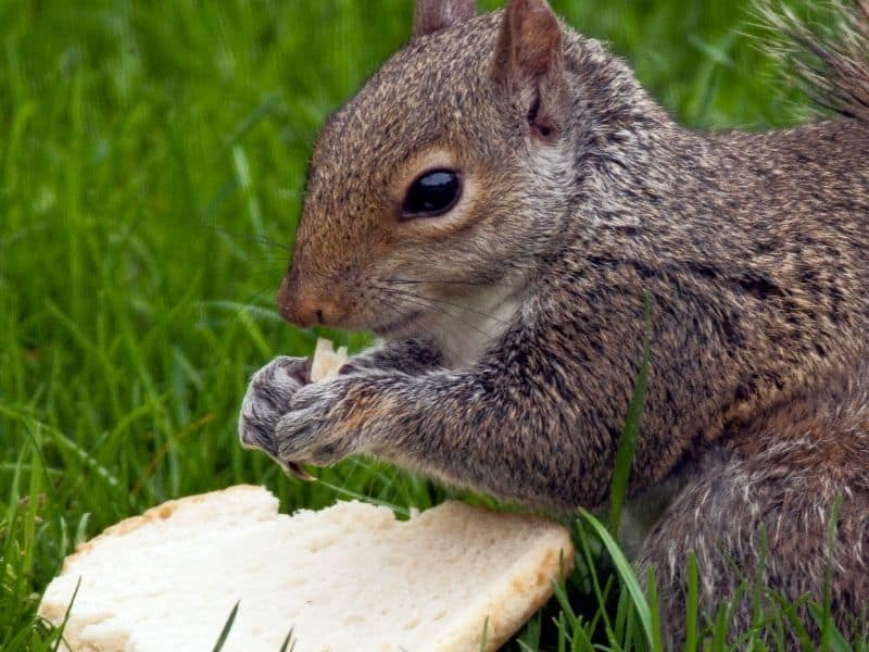 image of squirrel eating bread