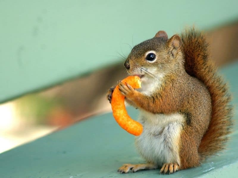 image of squirrel and junk food