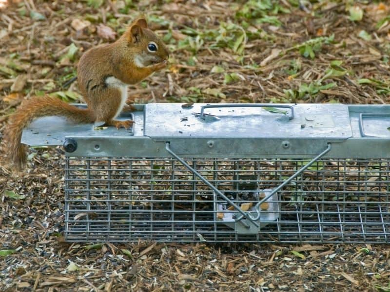 image of squirrel on trap