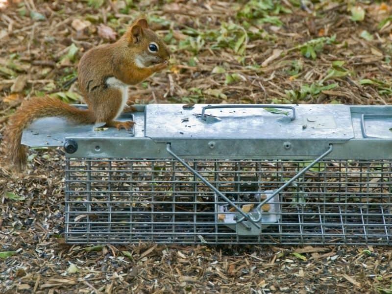 squirrel on trap